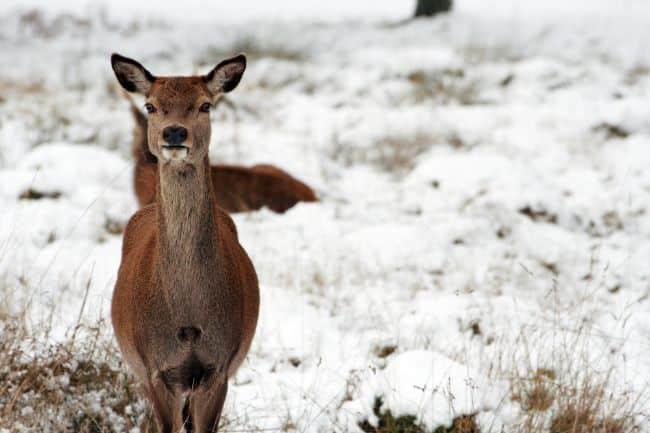 A Deer in Hyde Park - Things to do in London in Winter