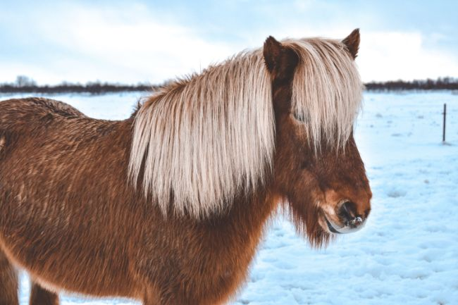 Icelandic Horses are cute at any time of year - Brown Icelandic Pony with a long shaggy mane